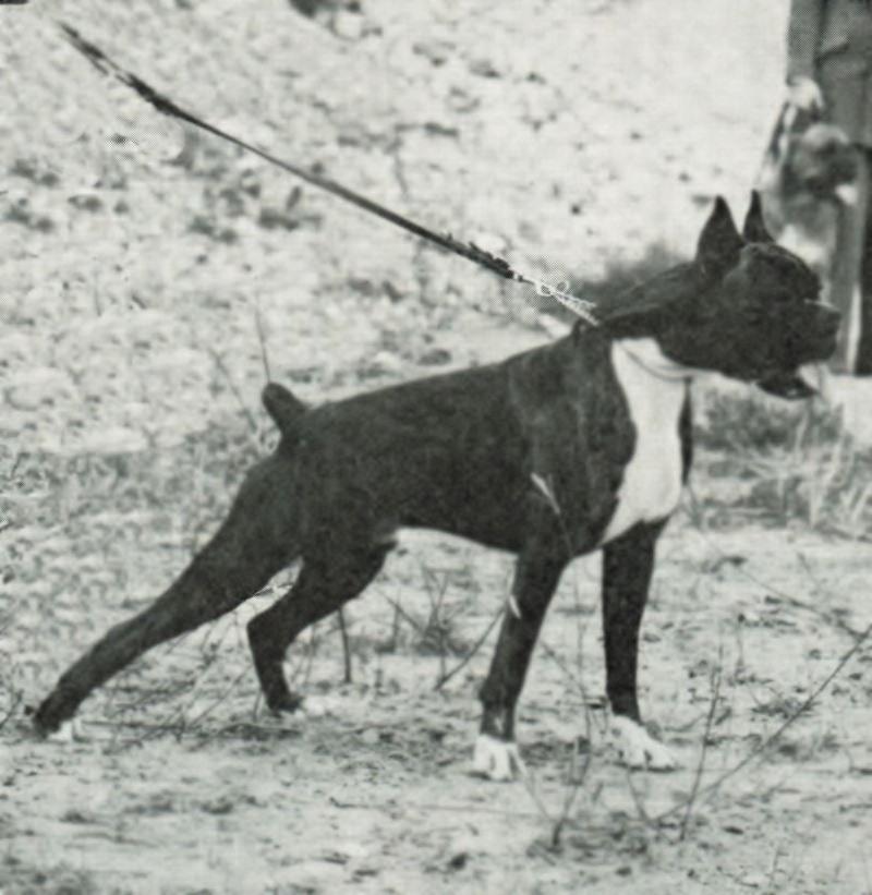 Nestor v.d. Boxerstadt